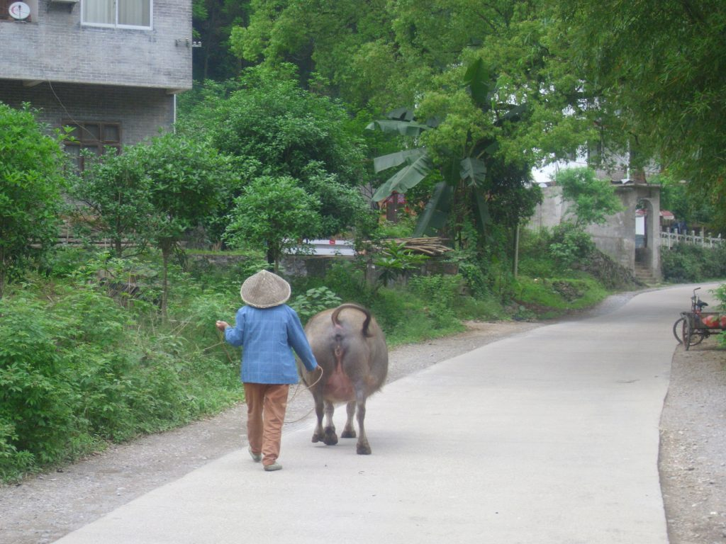 A woman walking with a water buffalo.